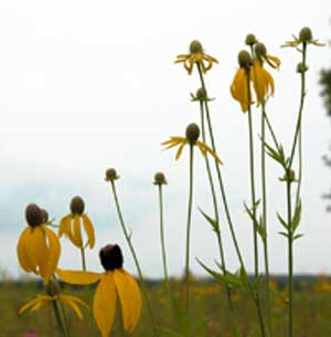 Gray Hooded Coneflower